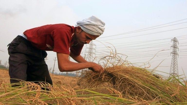 الأرز المصري بين المحلي والمستورد