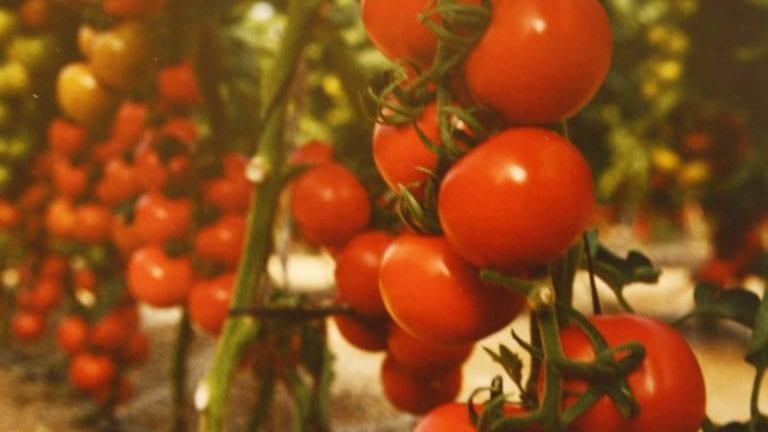 تقاوي الطماطم