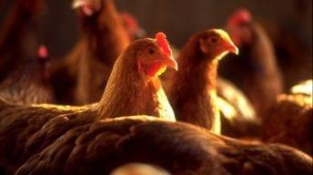 الزراعة تقرر حظر بيع الدواجن الحية