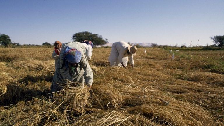 مصر تشتري أرز صيني