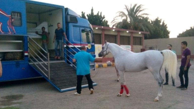 عودة تصدير الخيول