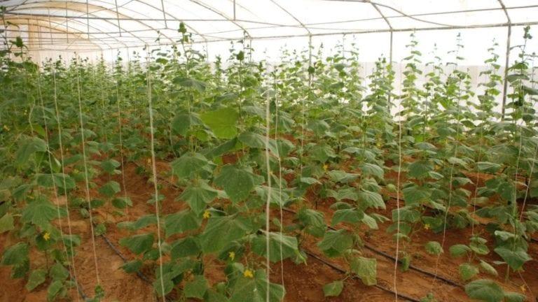 إنتاج بذور الخضار في مصر