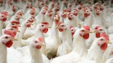 صرح عبد العزيز السيد المتحدث الرسمى للجنة المسئولة عن تفعيل قانون حظر تداول الطيور الحية، أنه سيبدأ تفعيلالقانون خلال شهر إبريل