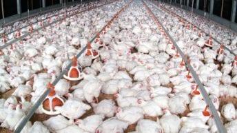 شركة صينية تنشئ مزارع دواجن بوادي النطرون