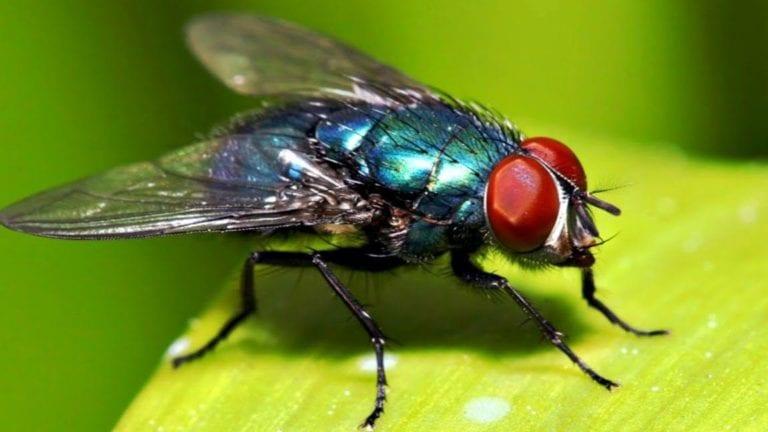 مكافحة ذبابة الفاكهة