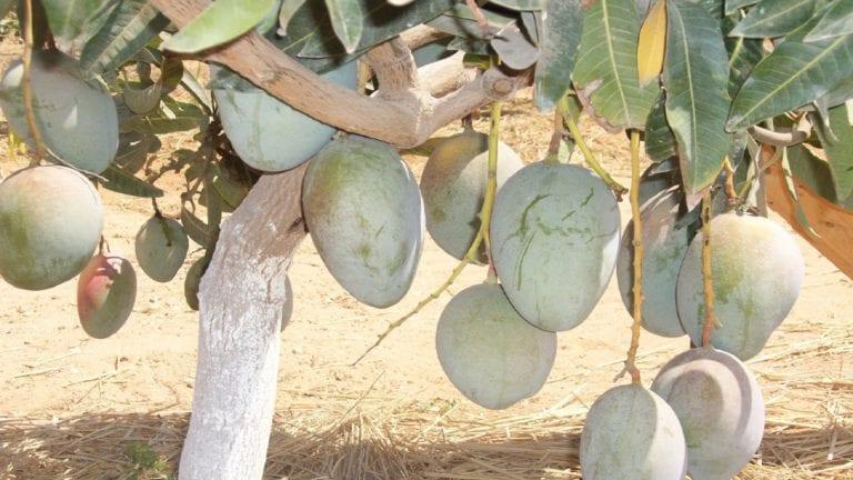 طلب إحاطة.. مخاطر وأزمات محصول المانجو في الإسماعيلية