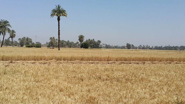 لسد العجز.. ارتفاع واردات مصر من القمح والأرز