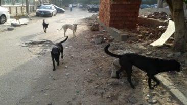 حملة للقضاء على الكلاب الضالة بأبو حمص بعد عقر 9 مواطنين