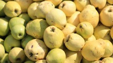 الاتحاد الأوروبي: عدم فرض فحوصات إضافية على الجوافة المصرية