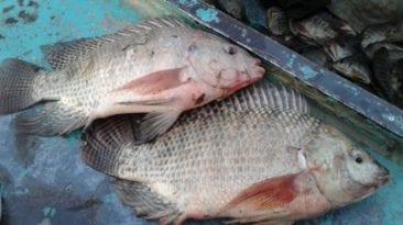 ارتفاع أسعار الأسماك في العيد