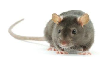 الفئران والكلاب الضآلة تهاجم محافظة المنوفية: 7 آلاف مصاب