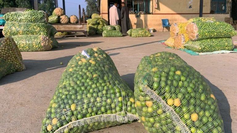 الحصاد: أسعار الليمون تنخفض 60 جنيها للكيلو.. والفئران تهاجم المنوفية