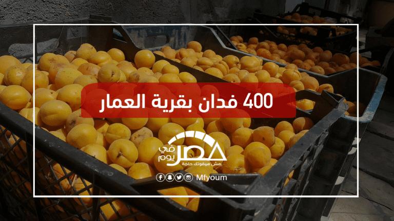 موسم المشمش في مصر.. لماذا لم يتحسن الإنتاج رغم تعافي المحصول؟