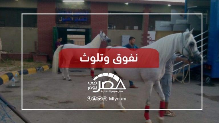 رغم أصالتها تتعرض للإهمال.. ما مصير تربية الخيول بعد محطة الزهراء؟