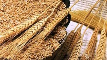 وزارة التموين تتعاقد على شراء 240 ألف طن من القمح المستورد