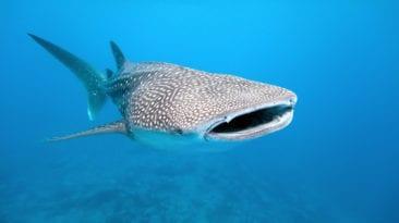 القرش الحوتي يظهر مجددا في البحر الأحمر.. تفاصيل