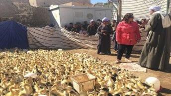 الحصاد: إعدام شحنة بط واردة من فرنسا.. واختناق 20 طفلا في حمام سباحة