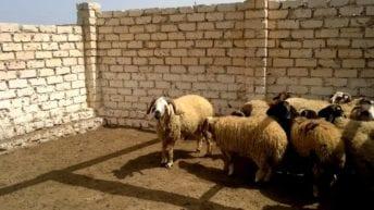 طوارئ في الإسكندرية بسبب طاعون المجترات الصغيرة.. تفاصيل