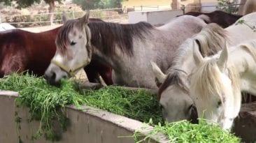 نقل محطة الزهراء للخيول إلى العاصمة الإدارية.. تعاون إماراتي