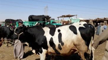 مرض السعار ينتشر بين الماشية في الوادي الجديد.. تفاصيل