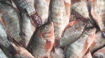 حقيقة إصابة أسماك البلطي