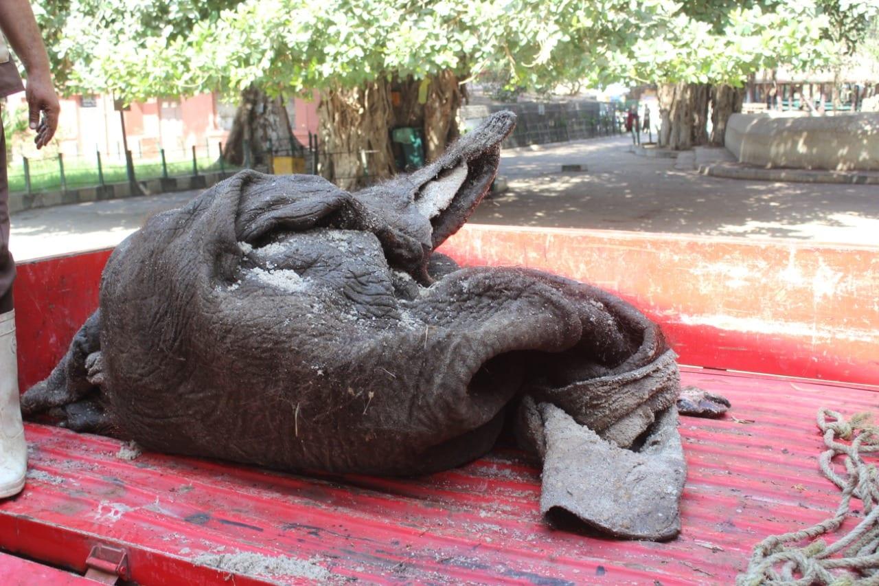 تحنيط الفيلة نعيمة