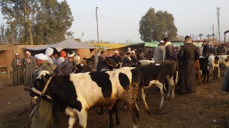 """بسبب """"الوادي المتصدع"""".. تعليق استيراد الماشية من السودان"""