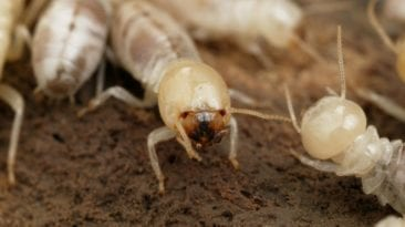 النمل الأبيض يهاجم منازل الإسكندرية