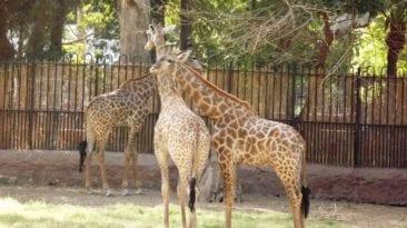 حديقة الحيوان تستعد لاستيراد 3 زرافات