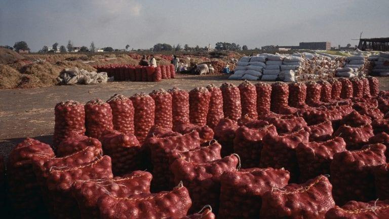 نقيب الفلاحين: زيادة التصدير سبب ارتفاع أسعار البصل