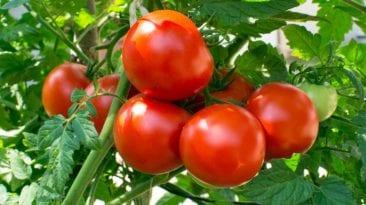 توقعات بارتفاع أسعار الطماطم