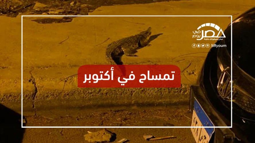 تمساح يثير الذعر في شوارع 6 أكتوبر
