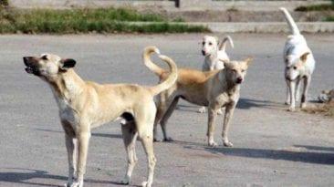 إعدام 230 كلبا ضالا