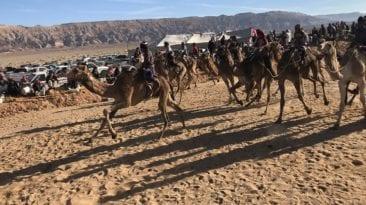 سباق الإبل في شرم الشيخ