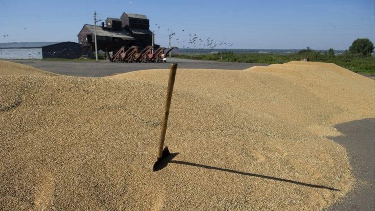 مصر أكبر مستورد للقمح