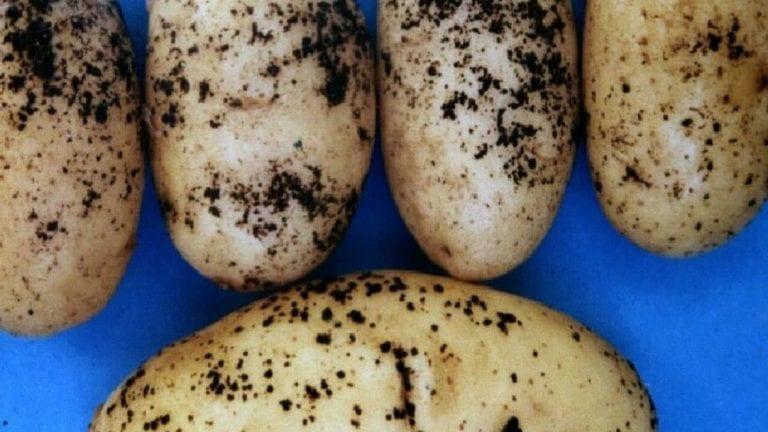 طلب إحاطة عن العفن البني في البطاطس