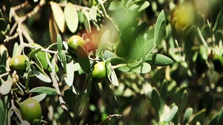 """""""الفلاحين"""": ننافس إسرائيل في زراعة نبات الجوجوبا خلال سنوات قليلة"""