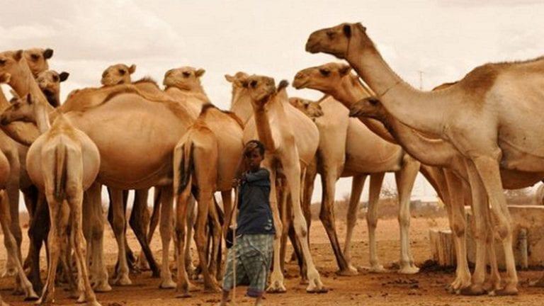 مصر تفحص الجمال السوداني من فيروس كورونا