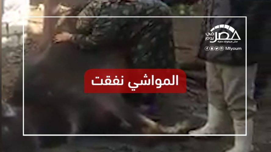 """""""البهايم ماتت"""".. مشهد مؤثر لسيدة في البحيرة فقدت مصدر رزقها (فيديو)"""