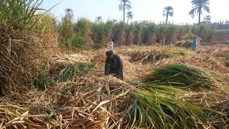 عبد العال منتقدا مصيلحي: ملف تسعير محصول قصب السكر مغلوط