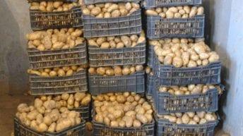 انخفاض كمية البطاطس المصرية المصدرة إلى لبنان للنصف مقارنة بالعام الماضي