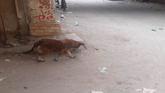 """إصابة 14 طفلا في المنيا بسبب هجوم حيوان يشبه """"السلعوة"""""""